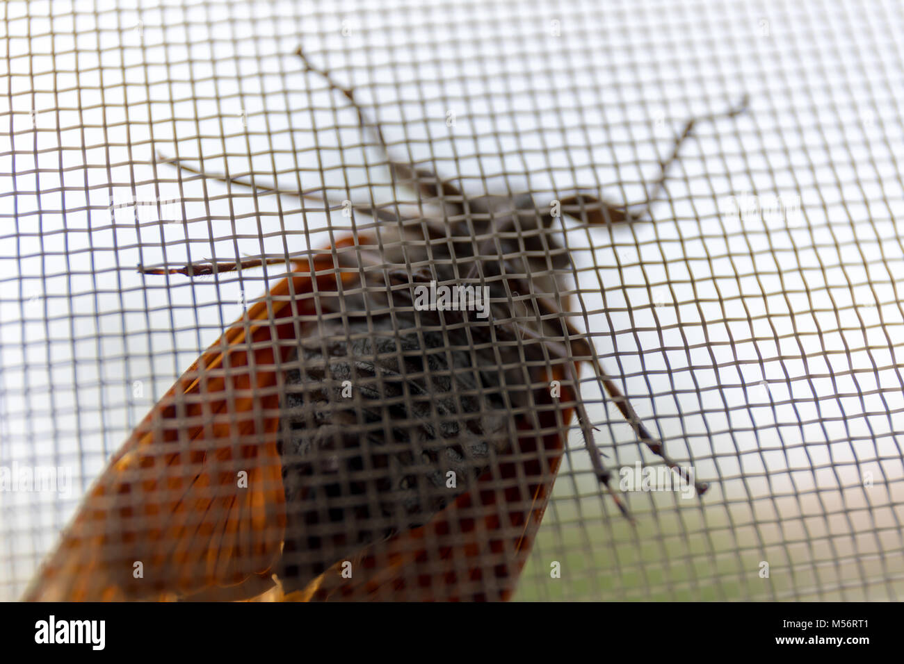 Cicada on a wire screen; Tokyo, Japan - Stock Image