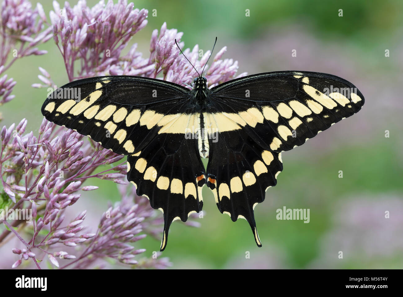 Giant Swallowtail (Papilio cresphontes) nectaring on Spotted Joe-Pye Weed. Gifford Pinchot State Park, Pennsylvania, - Stock Image
