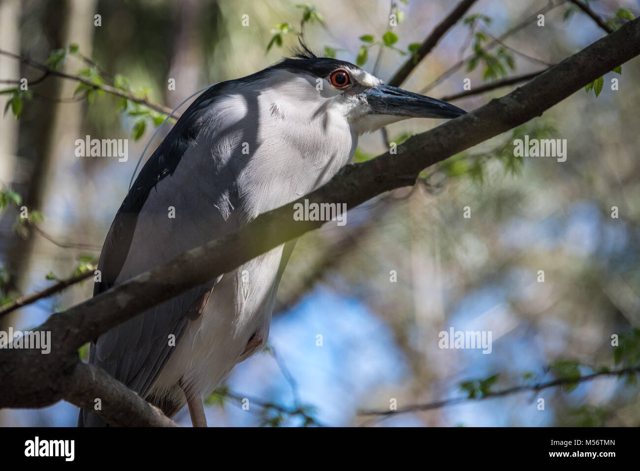 Black-crowned night heron (Nycticorax nycticorax) perched in a tree at Homosassa Springs Wildlife State Park in - Stock Image