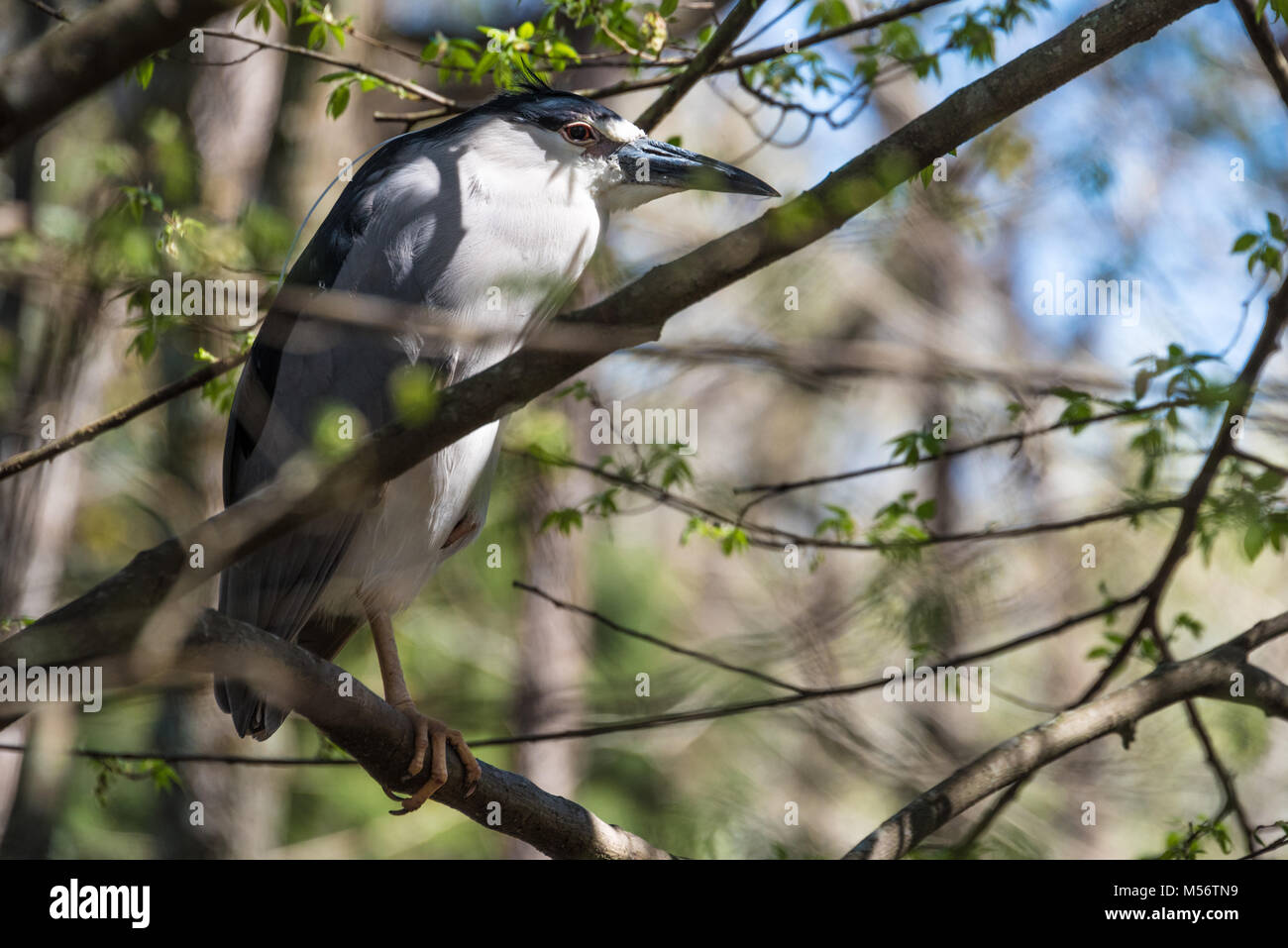 Black-crowned night heron (Nycticorax nycticorax) perched in a tree at Homosassa Springs Wildlife State Park in Stock Photo