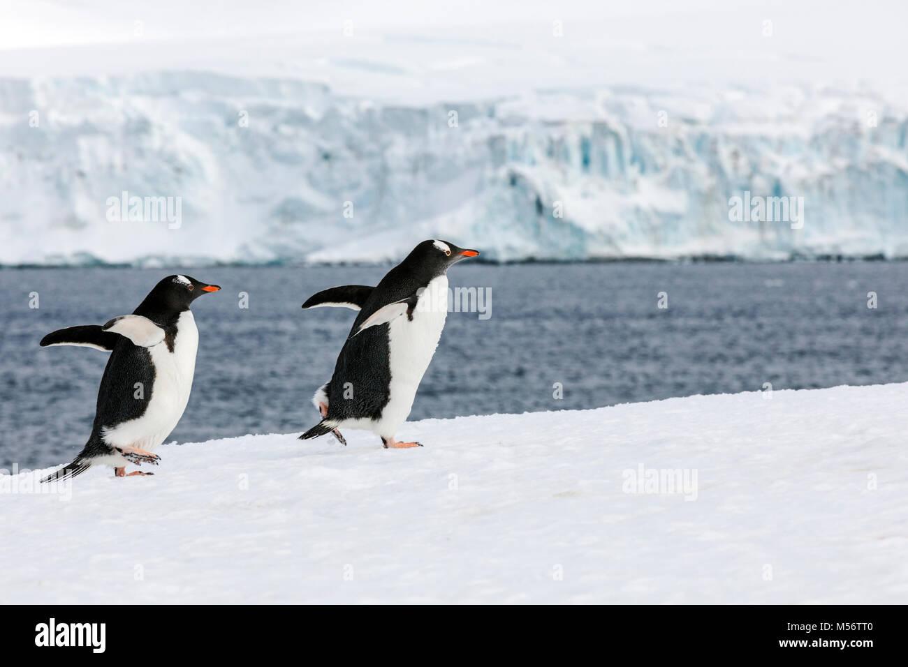 Long-tailed Gentoo penguins; Pygoscelis papua; Half Moon Island; Antarctica - Stock Image