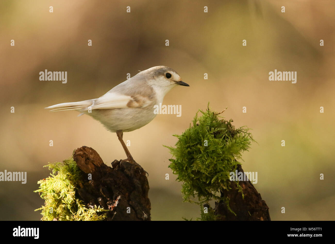 A rare Leucistic Robin (Erithacus rubecula) perched on a mossy wooden stump in the shade of the woods. - Stock Image