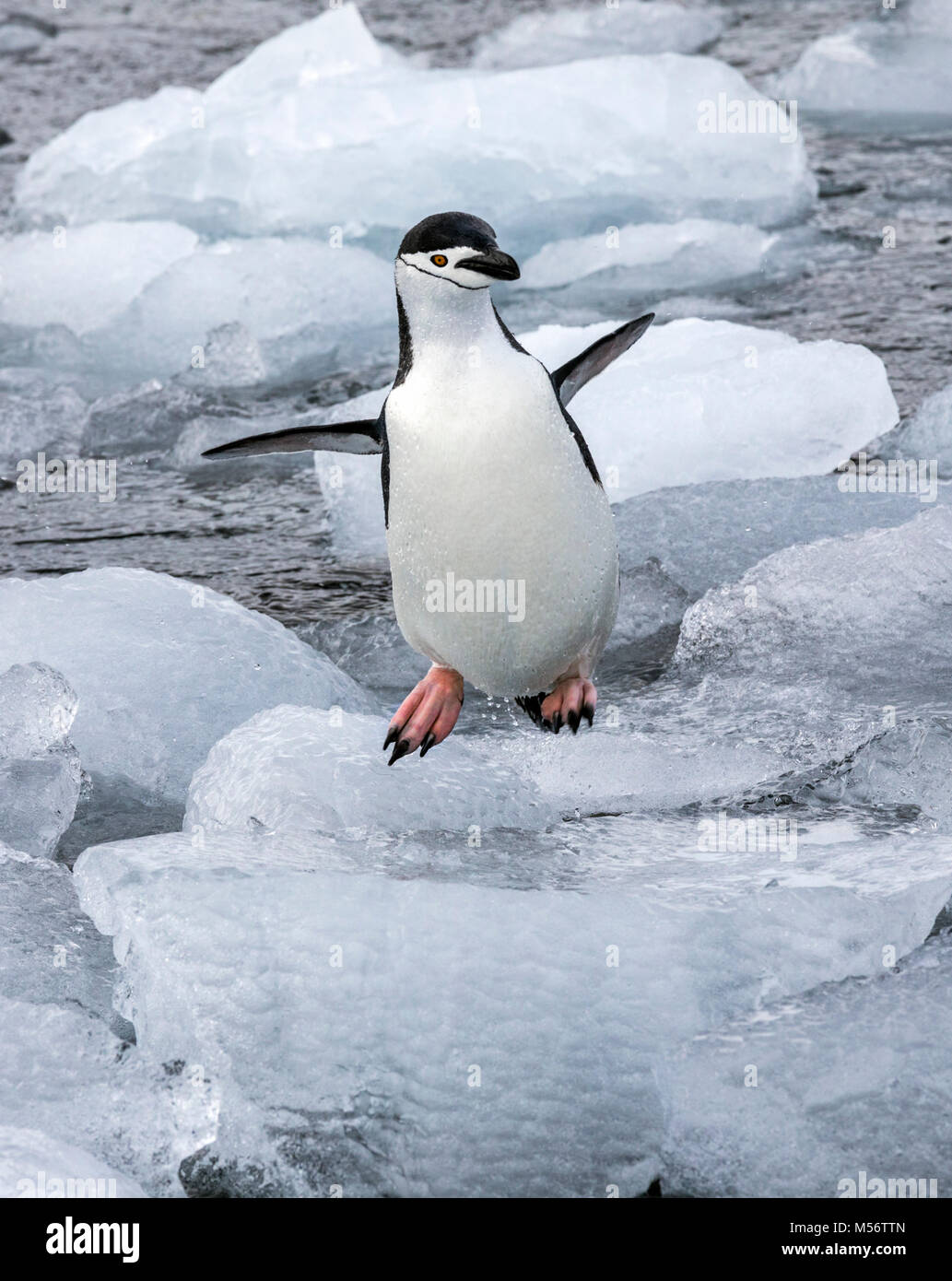 Chinstrap Penguins; Pygoscelis antarcticus; ringed penguin; bearded penguin; stonecracker penguin; Half Moon Island; - Stock Image
