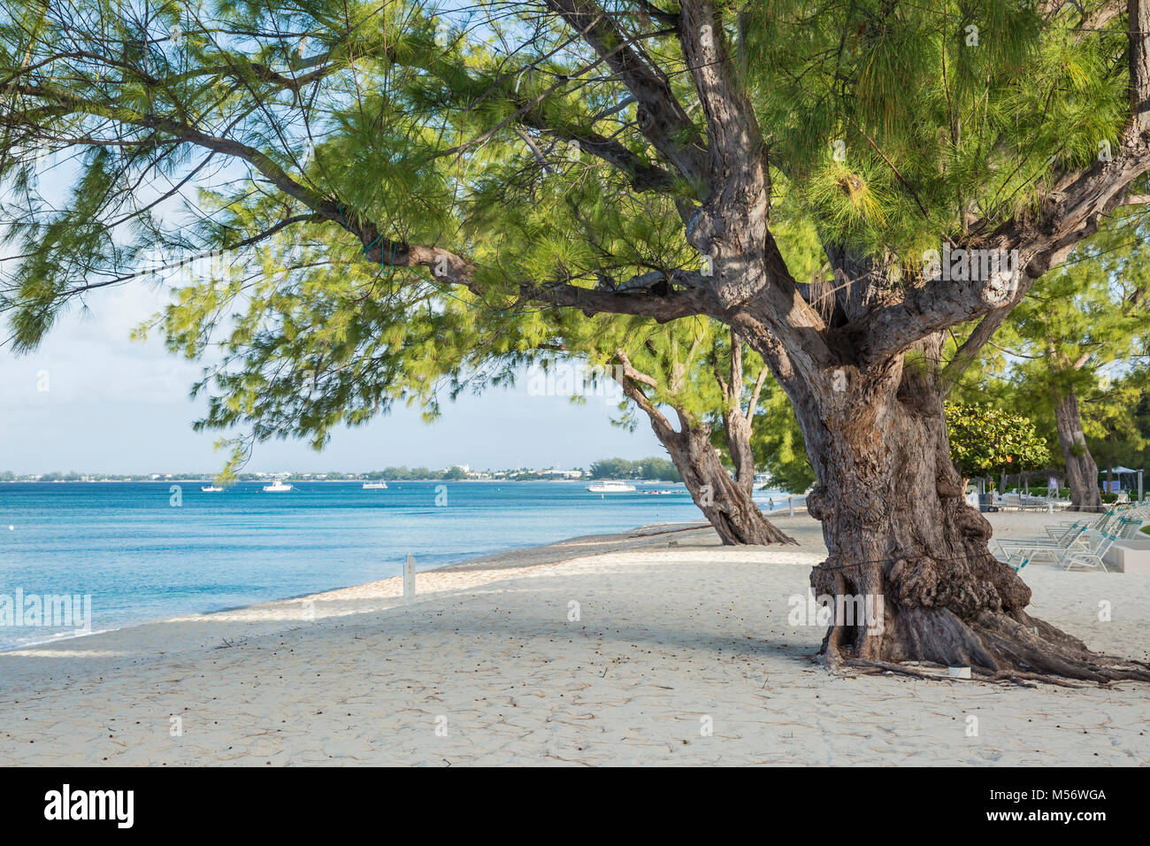 Mighty Casuarina Pine Trees on Seven Mile Beach on Grnd Cayman, Cayman Islands. - Stock Image