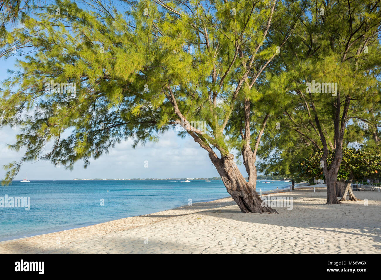 Graceful Casuarina Pine Trees on Seven Mile Beach on Grnd Cayman, Cayman Islands. - Stock Image