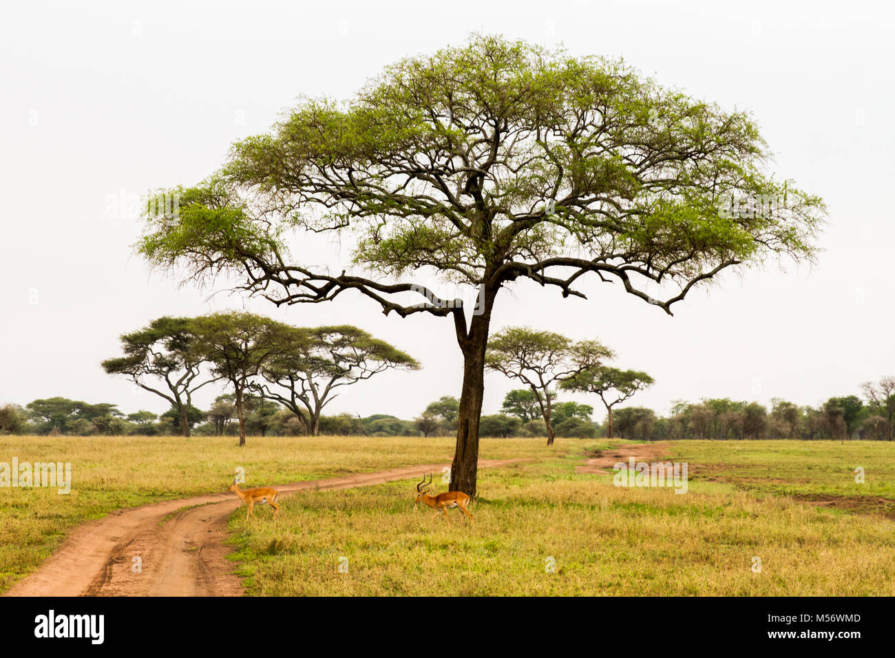 Landscape of National Park in Tanzania with animals running free - Stock Image
