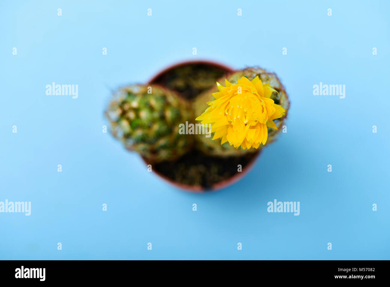 high angle view of a ladyfinger cactus, also known as gold lace cactus, with a yellow flower in a brown plant pot, - Stock Image