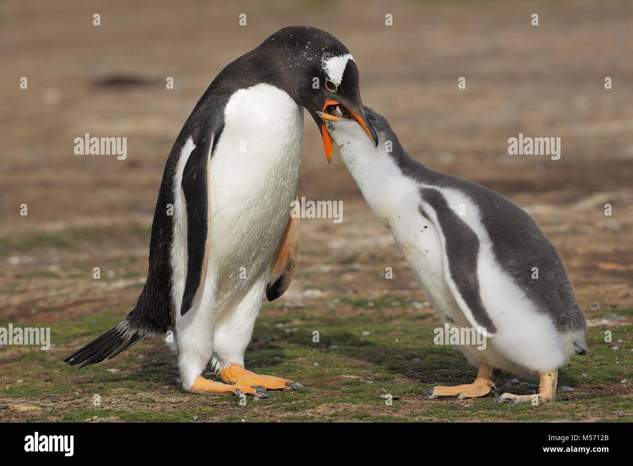 Gentoo Penguin colony - Stock Image