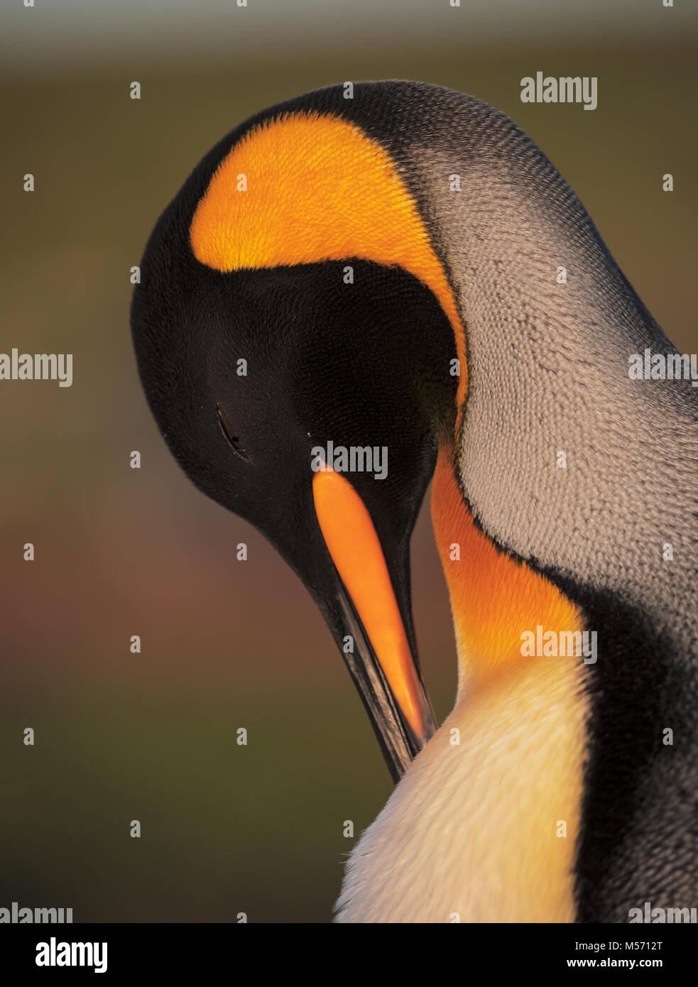 King Penguin portrait - Stock Image