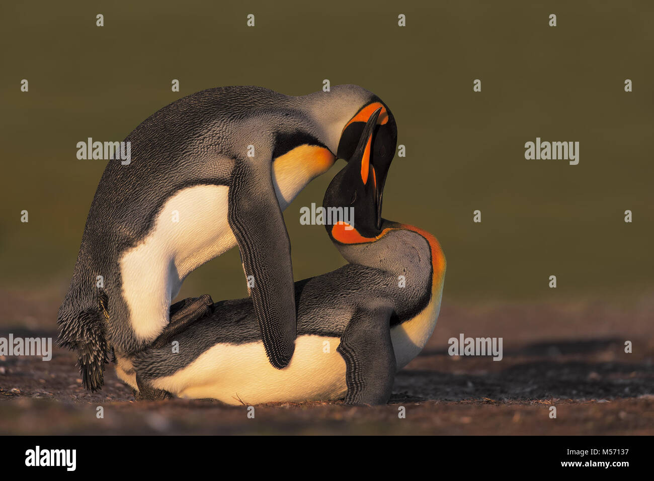Mating link penguin - Stock Image