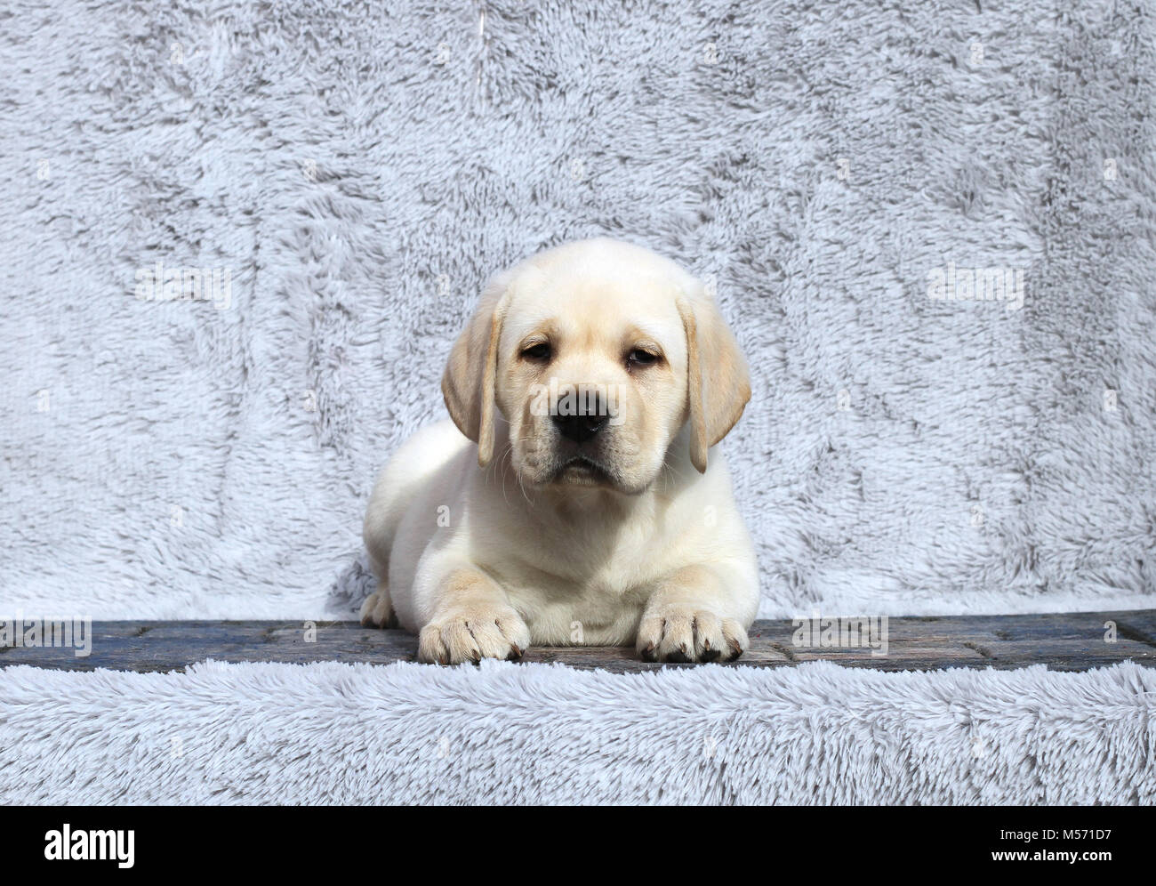 A Little Yellow Labrador Puppy Sitting On Grey Background Stock Photo Alamy