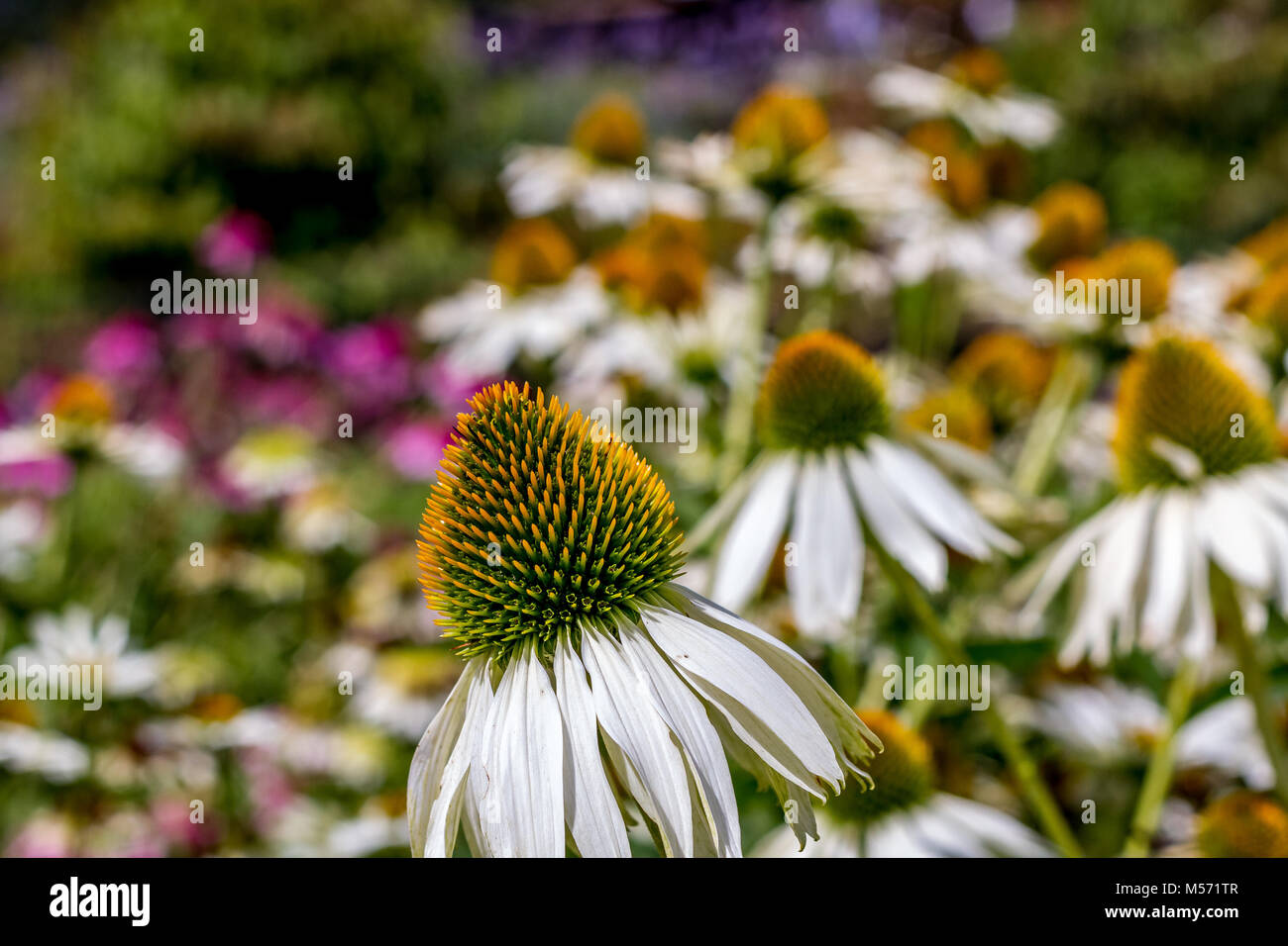 Echinacea purpurea 'Green Edge' - Stock Image
