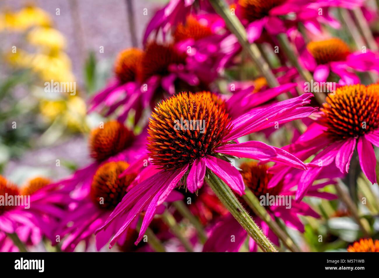 Echinacea 'Pink Shimmer' (Coneflower) - Stock Image