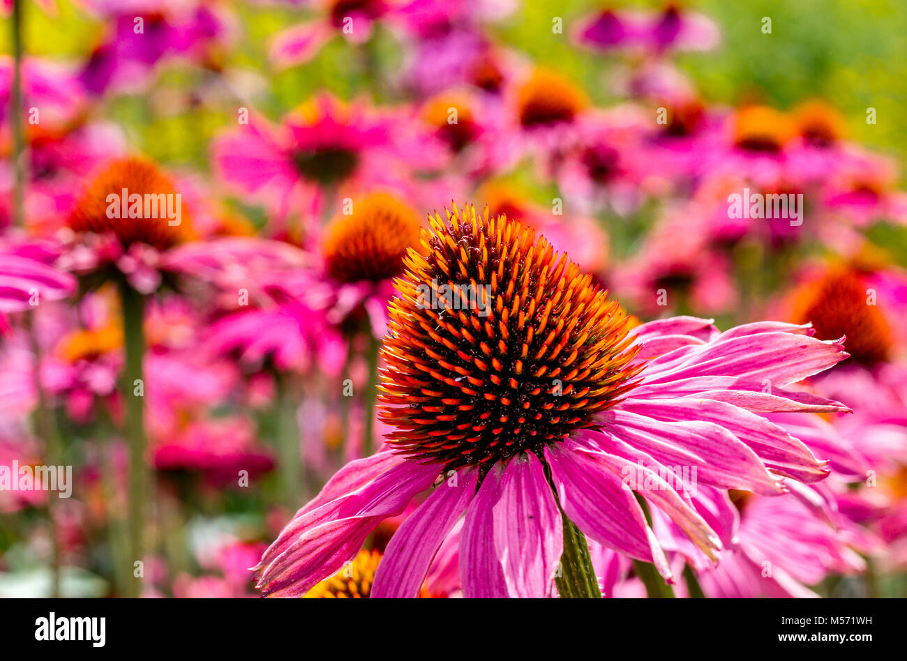 Echinacea purpurea 'Rubinglow' or commonly known as purple coneflower 'Rubinglow' - Stock Image