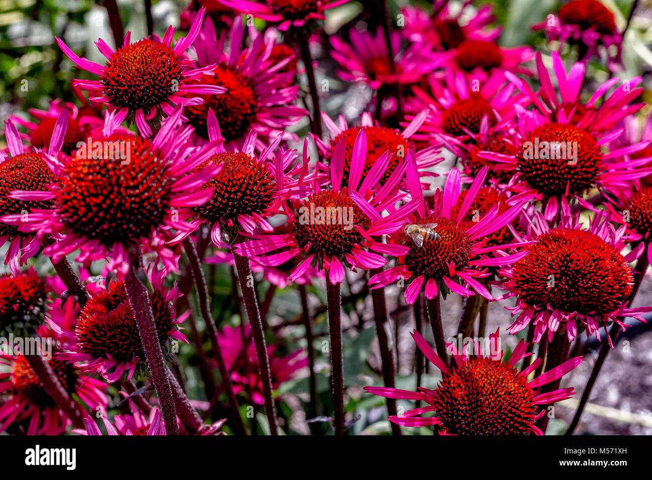 Echinacea purpurea 'Fatal Attraction' commonly known as Purple coneflower - Stock Image