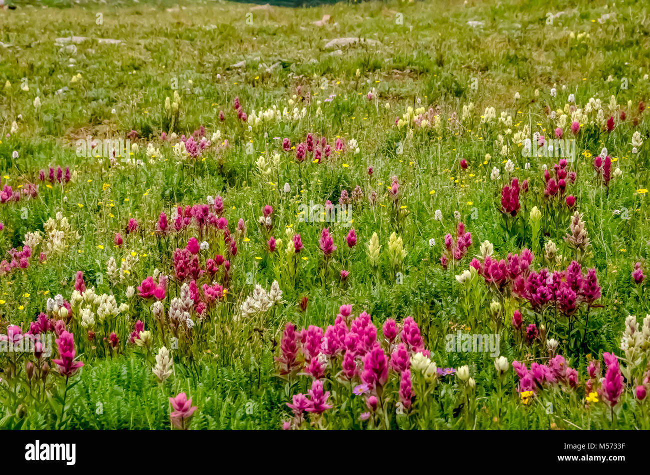 Field of summer wildflowers in Crested Butte, Colorado - Stock Image