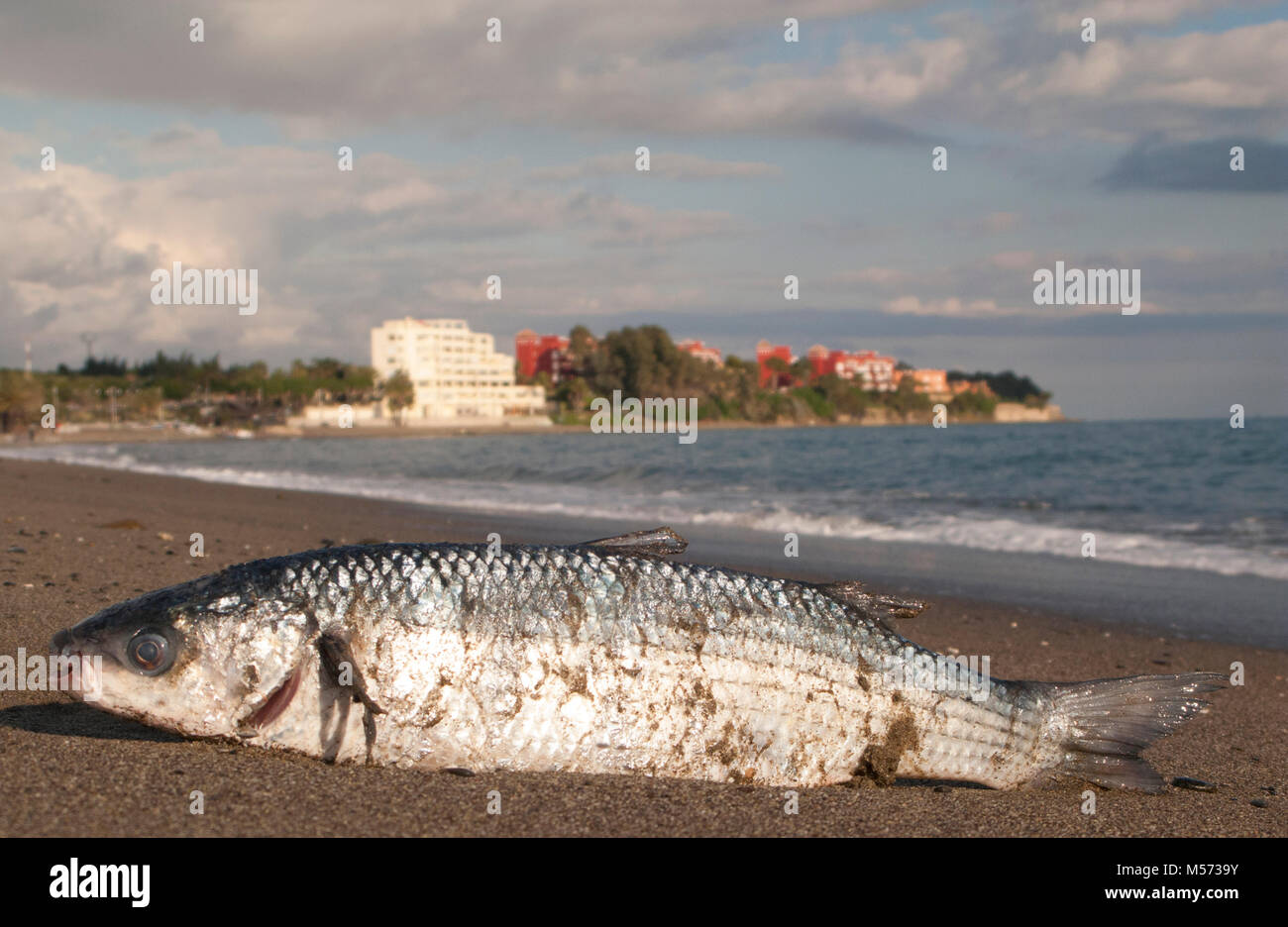 A rouge fish seems a bit out of water on a beach in southern Spain. - Stock Image