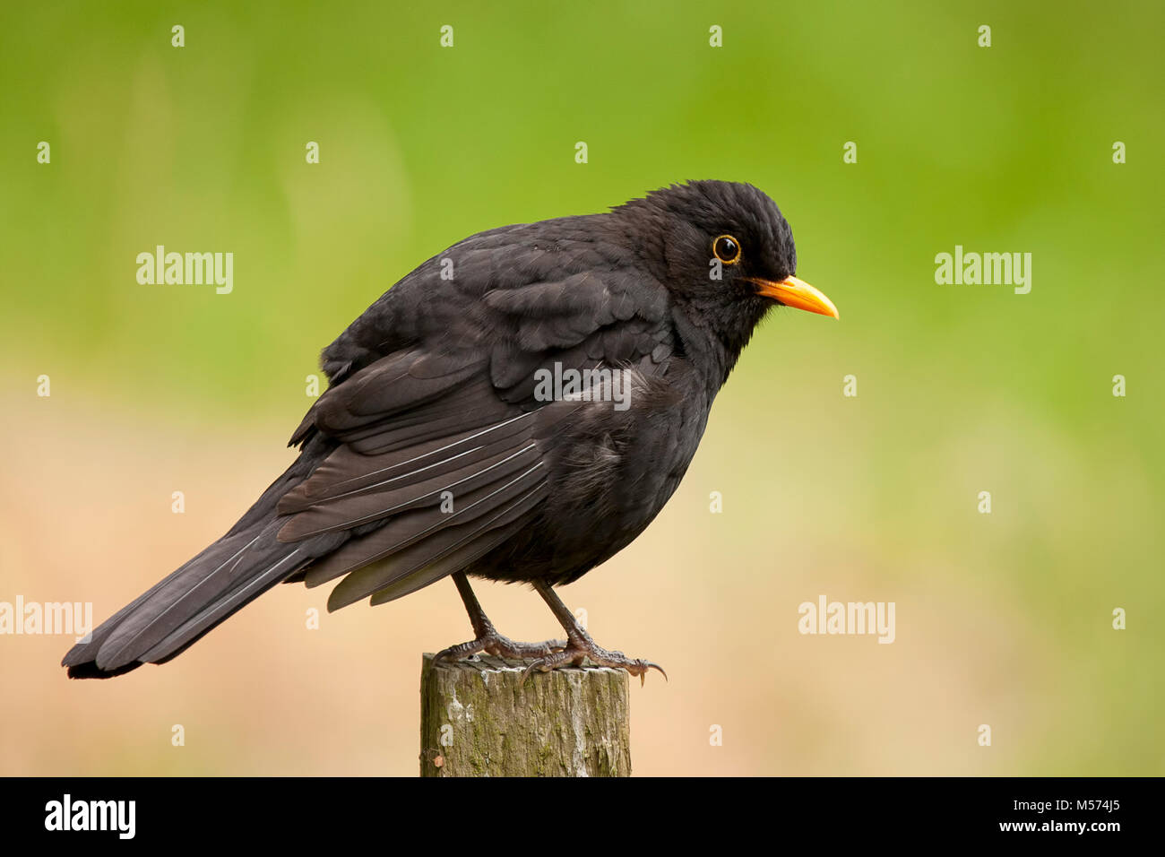 Blackbird male (Turdus merula) perched on fencepost. Tipperary, Ireland. - Stock Image