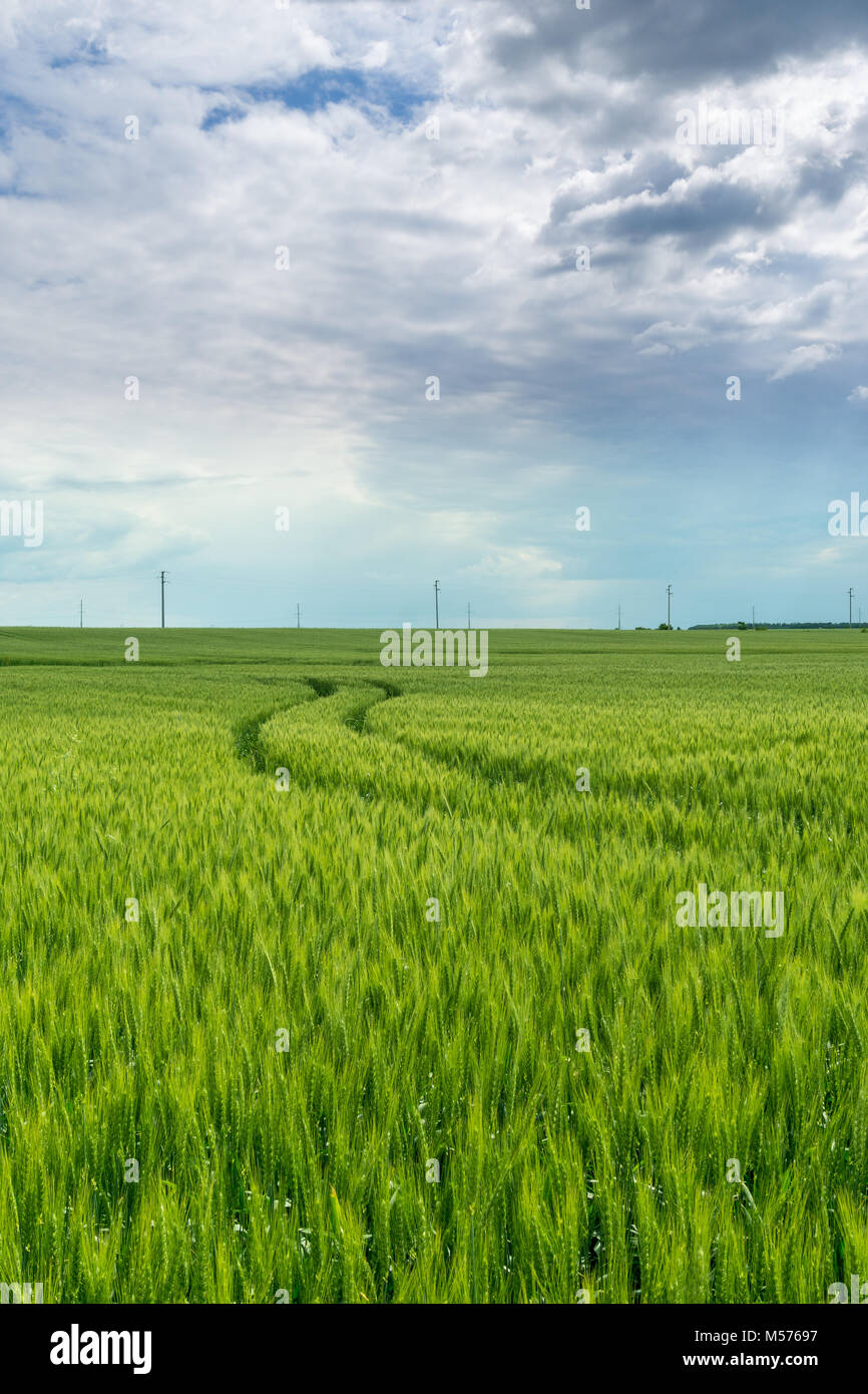 Green wheat field with tractor tracks leading lines - Stock Image