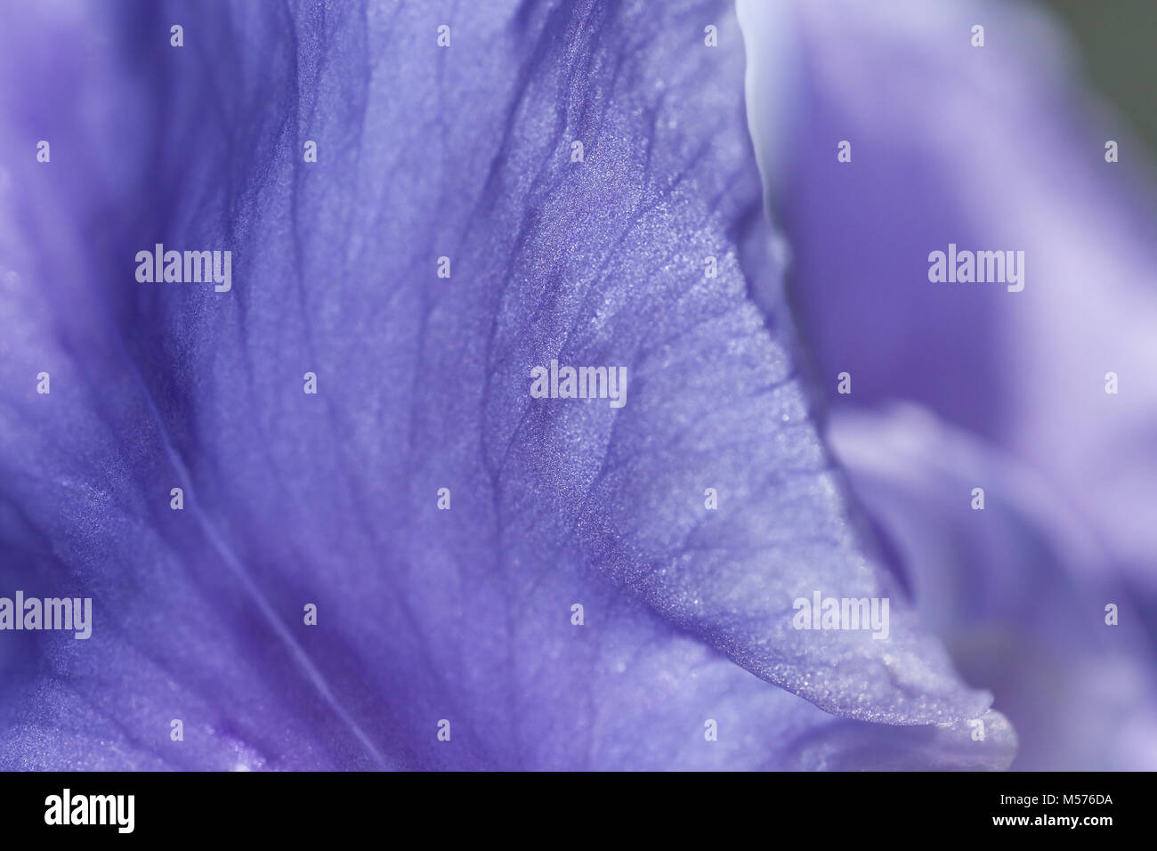 abstract, background, beautiful, beauty, bright, color, colorful, flora, floral, flower, iris, macro, natural, nature, - Stock Image