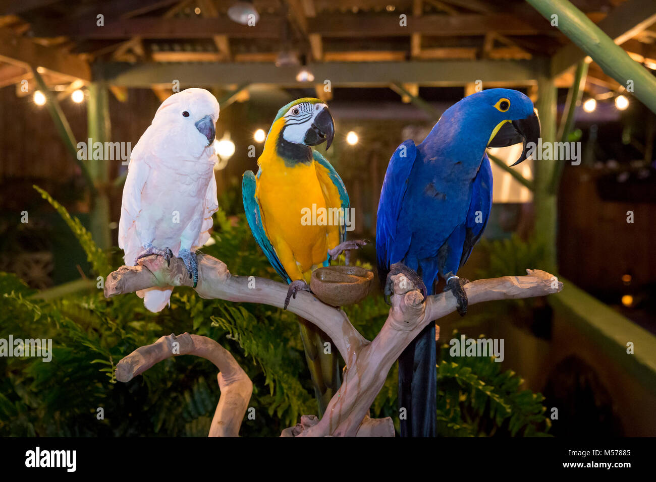 Moluccan Cockatoo (Cacatua Moluccensis), a Blue and Gold Macaw (Ara Ararauna) and a Hyacinth Mcaw (Anodorhynchus - Stock Image