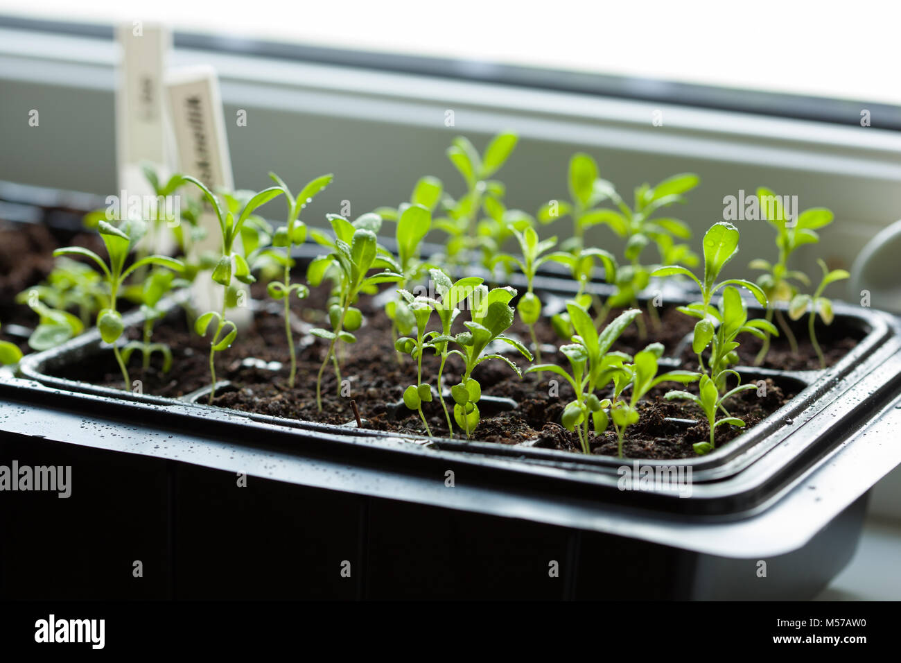 seedling plants growing in germination plastic tray - Stock Image