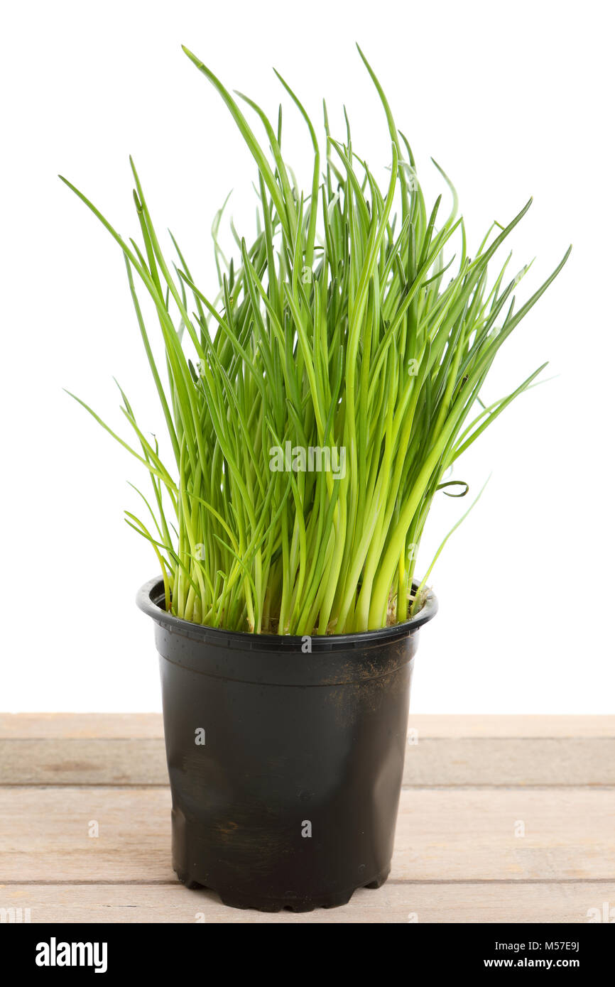 Chives In Pot High Resolution Stock Photography And Images Alamy