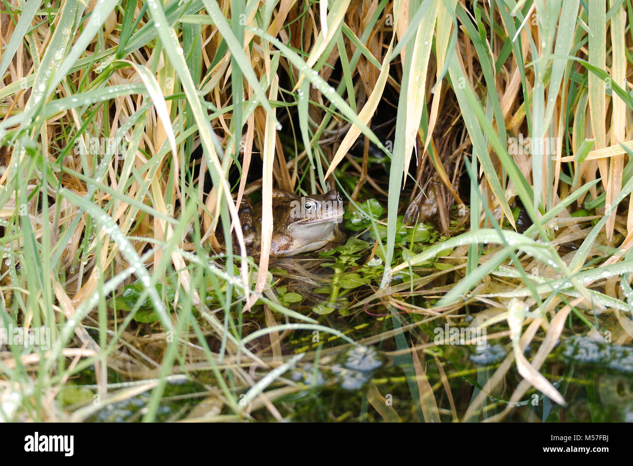 A common frog semi-submerged in a pond sheltering under some grass. - Stock Image