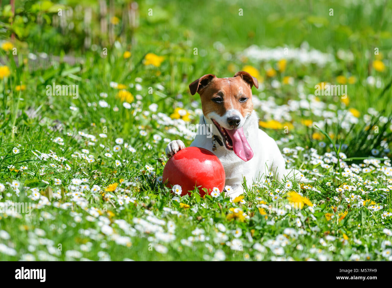 Jack russel terrier puppy on flower meadow - Stock Image