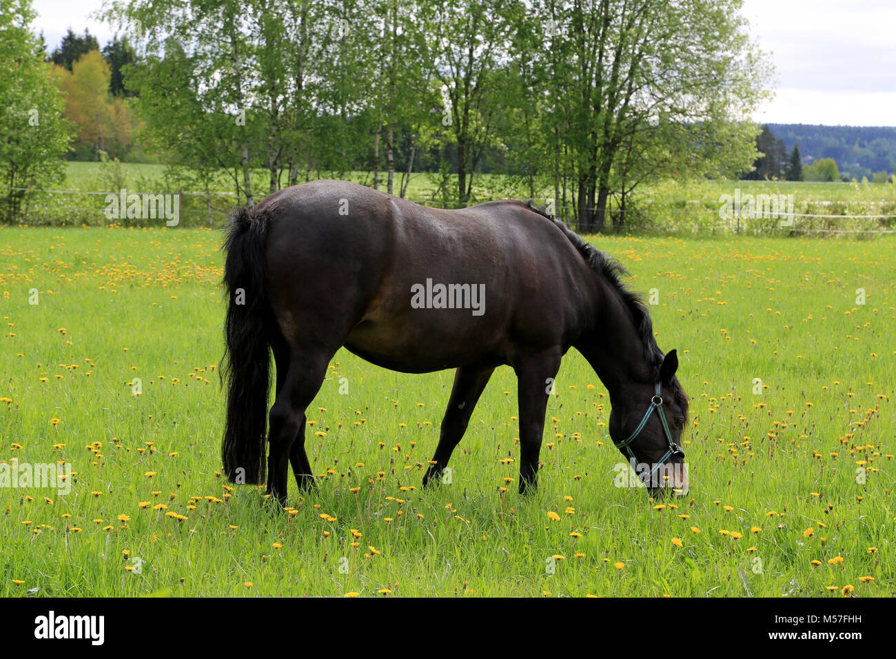 Black horse eating grass on green meadow at summer. - Stock Image