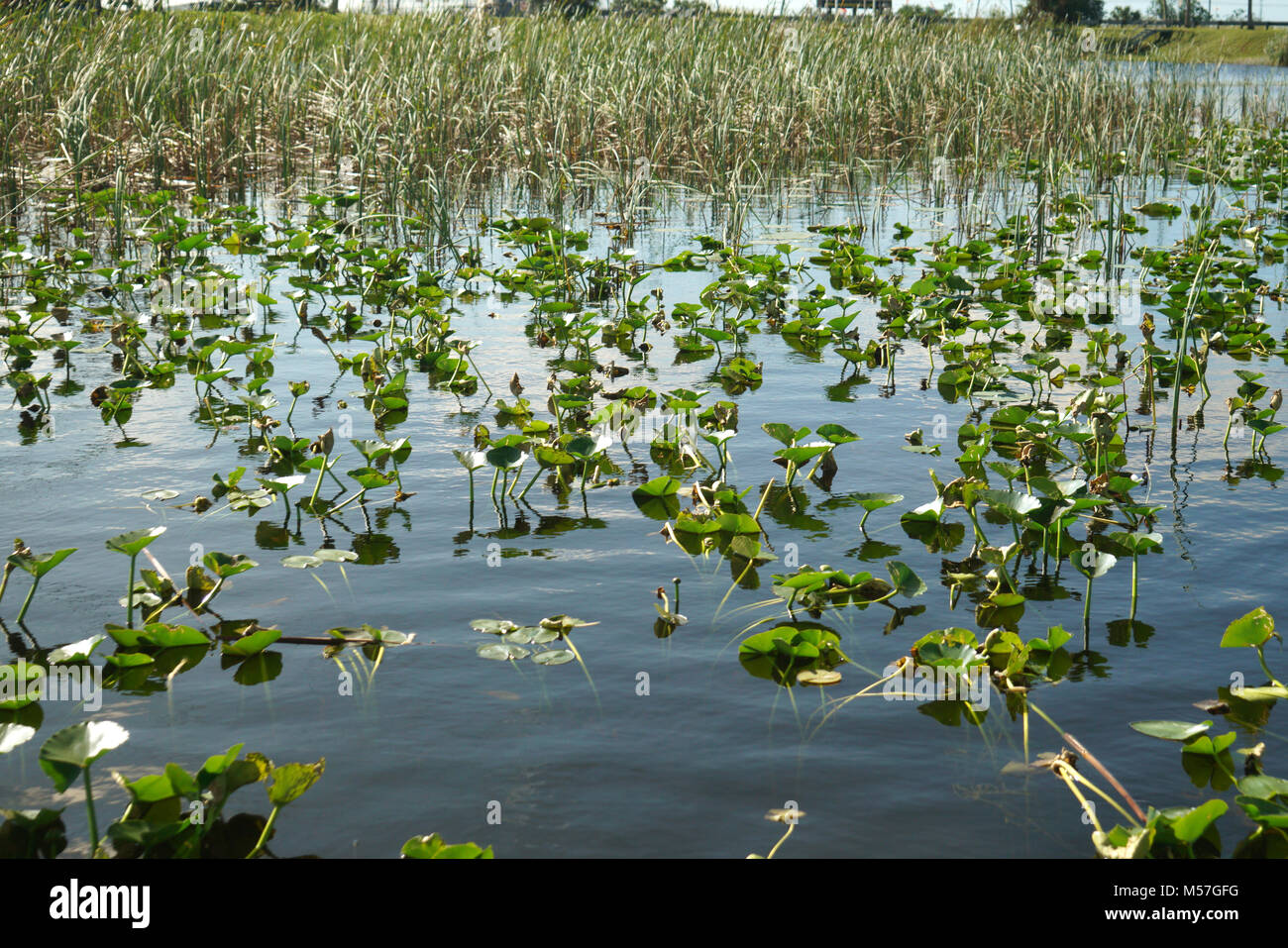Seagrass Everglades Park, Fort Lauderdale, FL - Stock Image