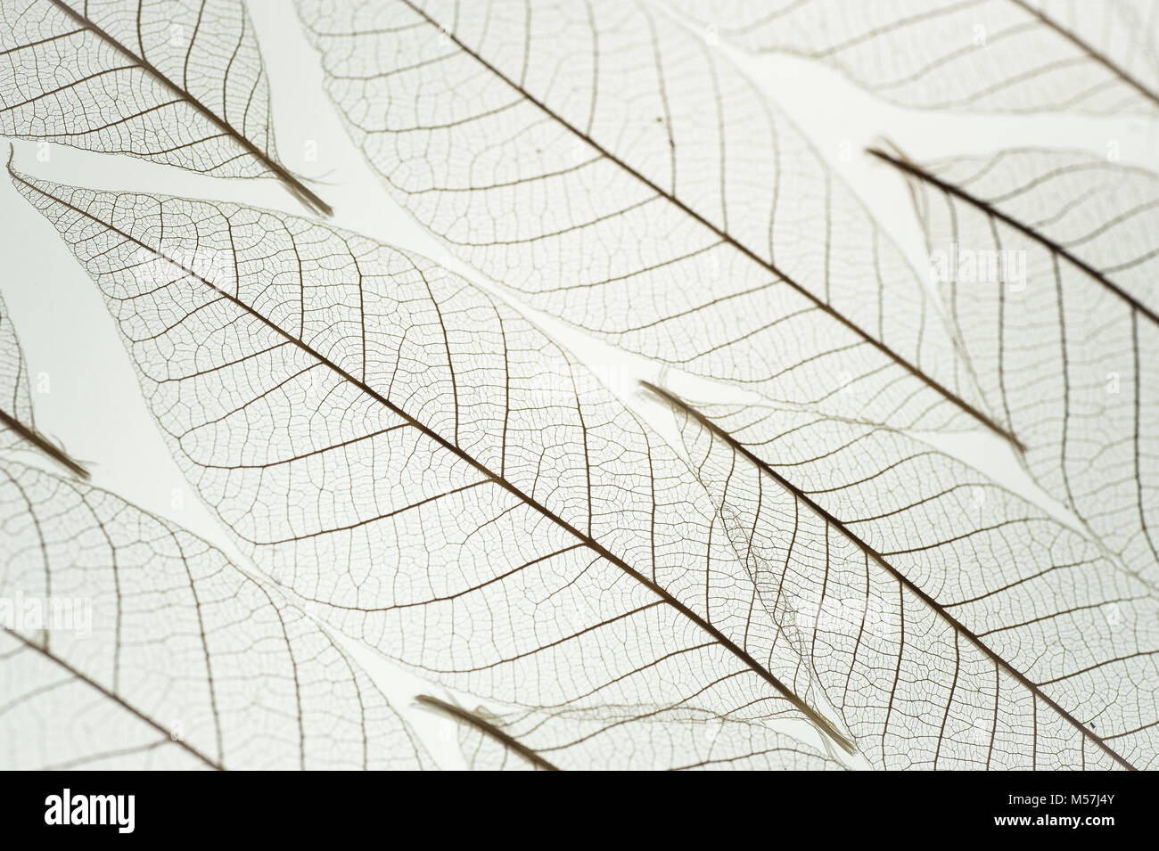 White texture macro background of skeleton leaf in pleasing pattern back lit. Transparent leaves with selective - Stock Image