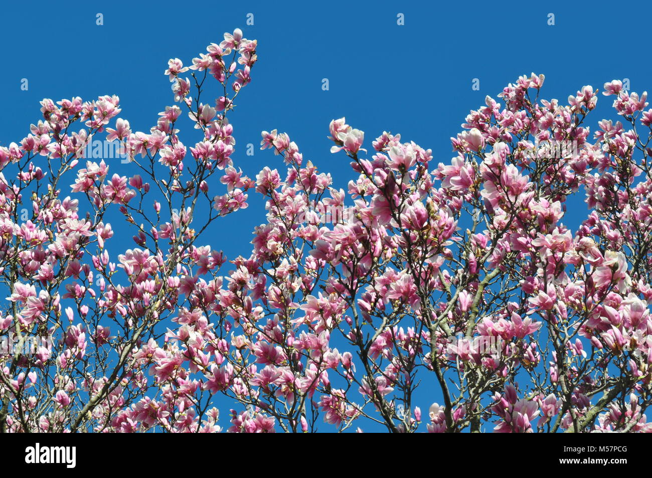 Beautiful Light Pink Magnolia Big Dude Flowers Against A Clear