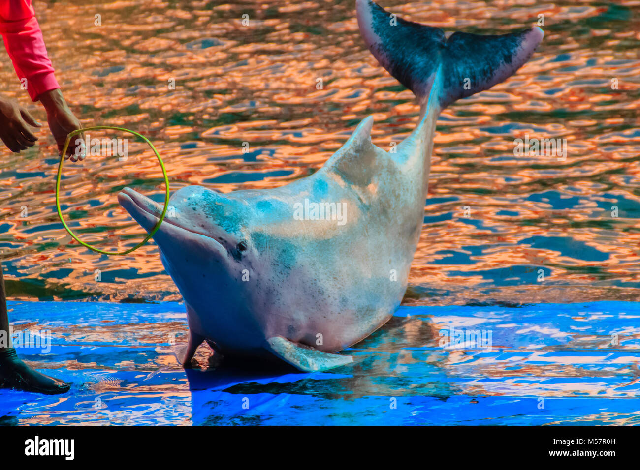 Cute Indo-Pacific humpback dolphin (Sousa chinensis) ,or Pink dolphin, or Chinese white dolphin is playing hoop - Stock Image