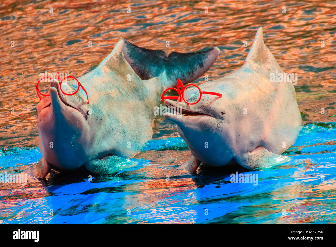 Cute Indo-Pacific humpback dolphin (Sousa chinensis) ,or Pink dolphin, or Chinese white dolphin is wearing sunglass - Stock Image