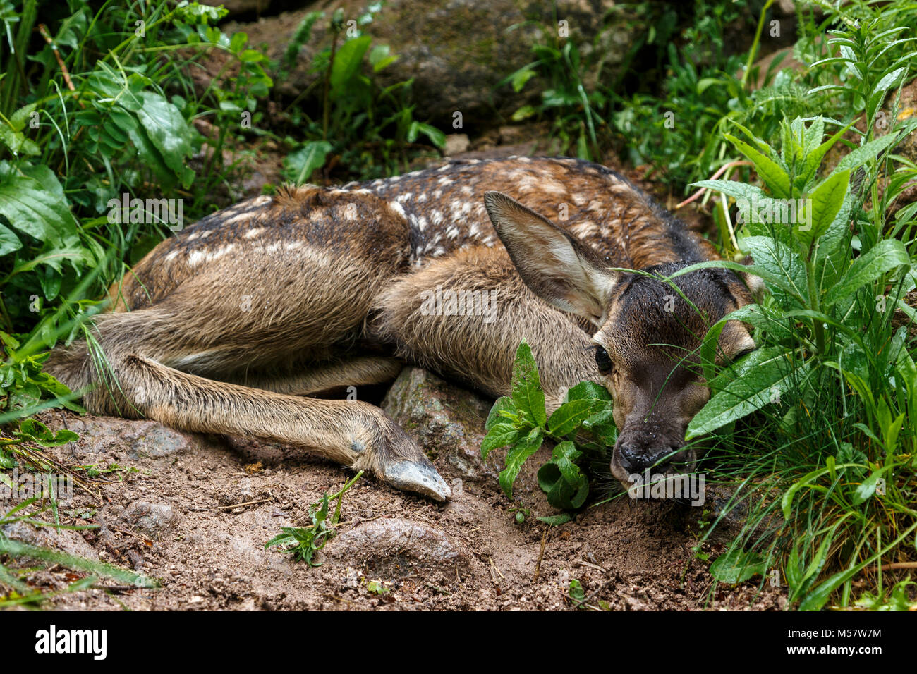 Spring closeup of a whitetail deer fawn bedded down in a woodland habitat, - Stock Image
