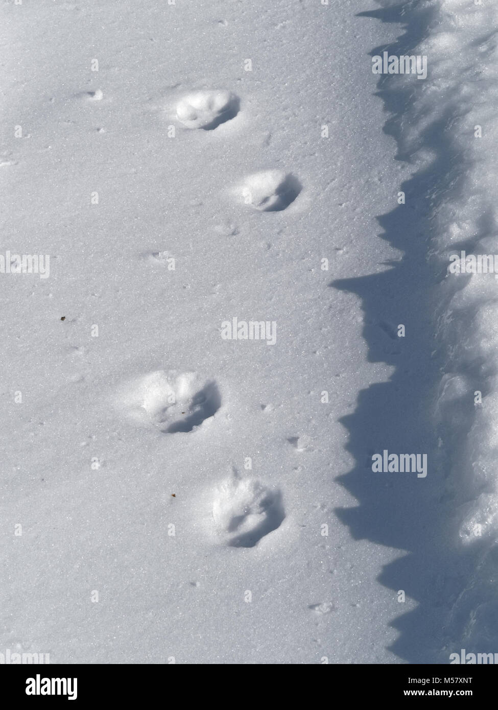 Quebec,Canada. Coyote tracks in the snow - Stock Image