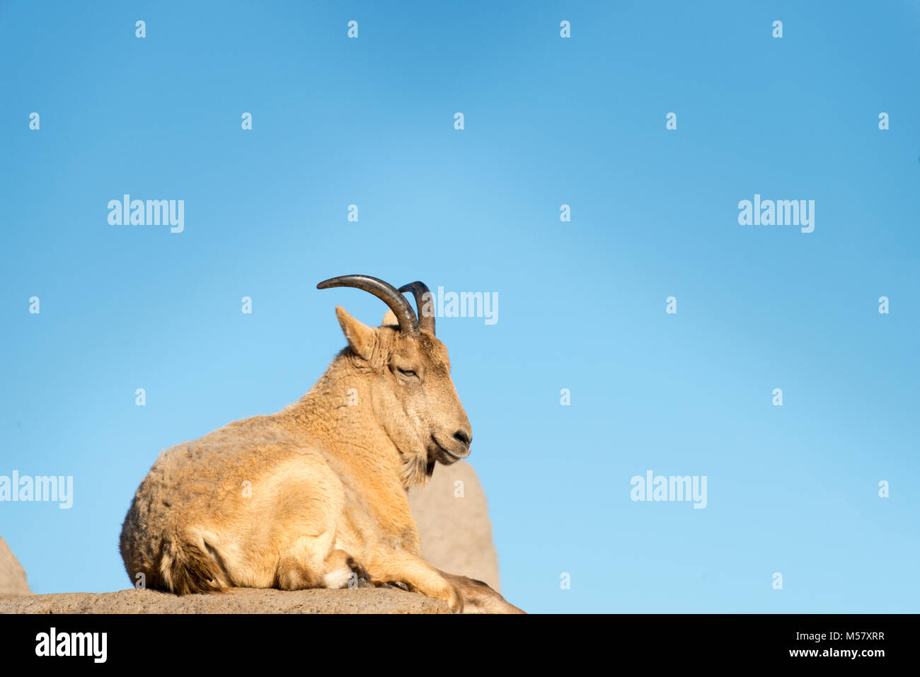 Young West Caucasian Tur (Capra caucasica)  relaxing - Stock Image