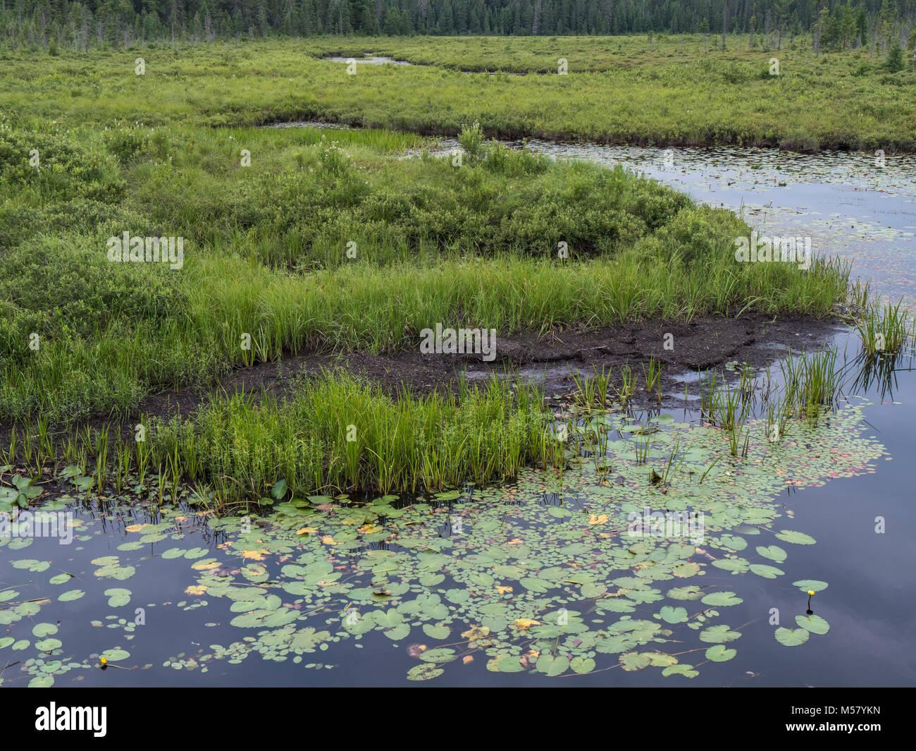 Lily pads, Spruce Bog Boardwalk, Algonquin Provincial Park, Ontario, Canada. - Stock Image