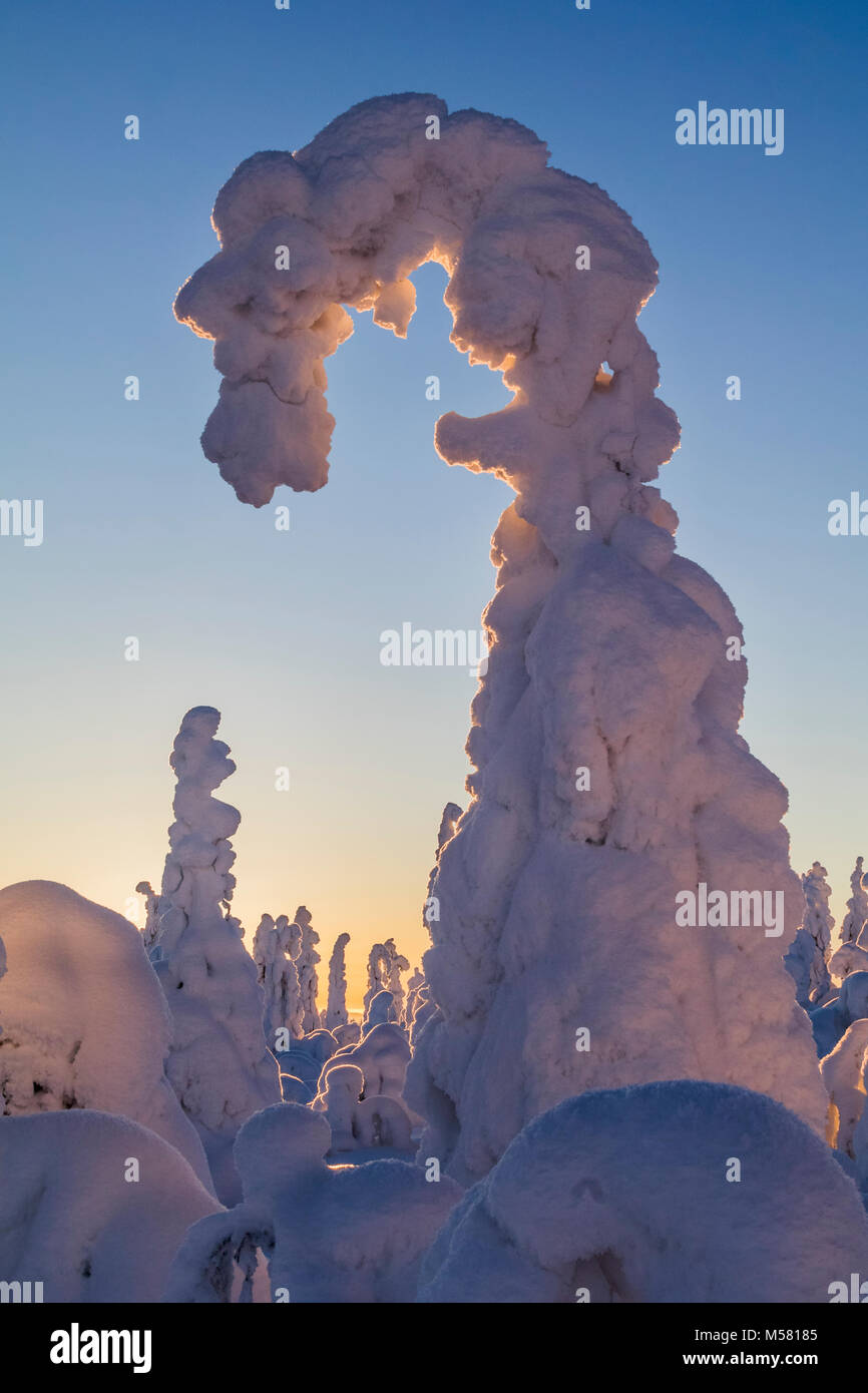 Snowy spruce in Finland - Stock Image