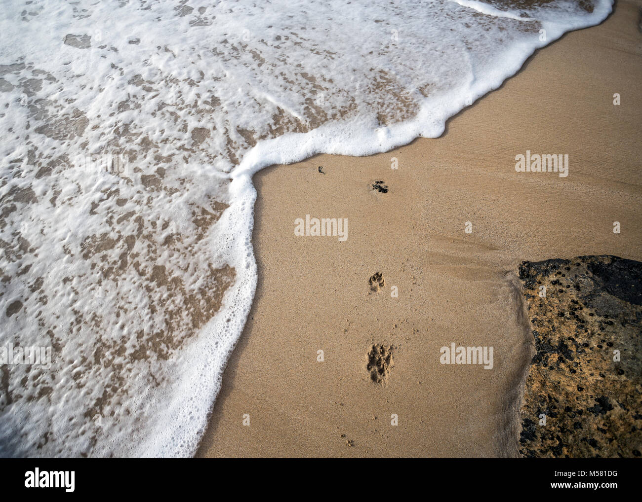 Paw prints of a dog in the sand is getting covered by a wave. Stock Photo
