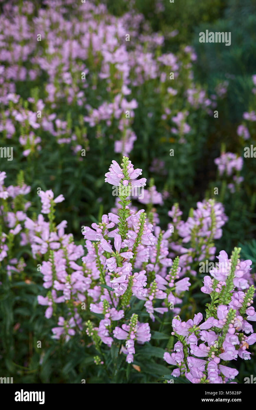 Physostegia virginiana - Stock Image