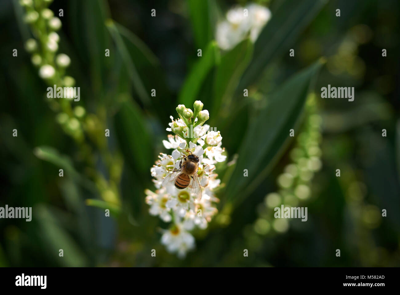 Prunus laurocerasus - Stock Image