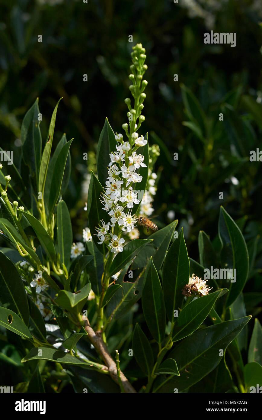 Prunus laurocerasus Stock Photo