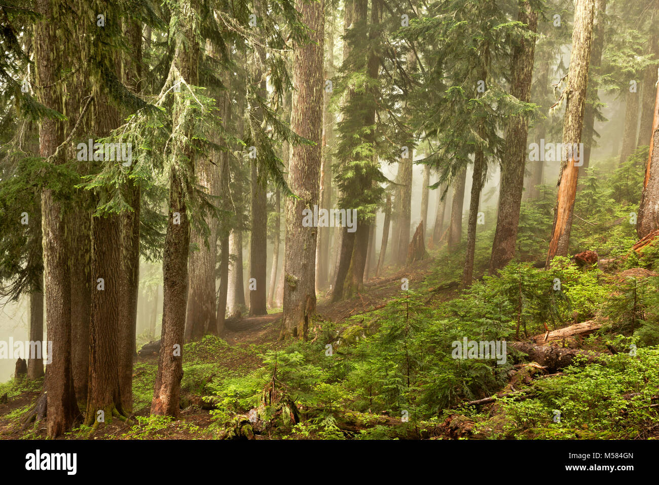WASHINGTON - Sun breaking through the mist on a hillside along the forested Perry Creek Trail in the Mount Baker - Stock Image