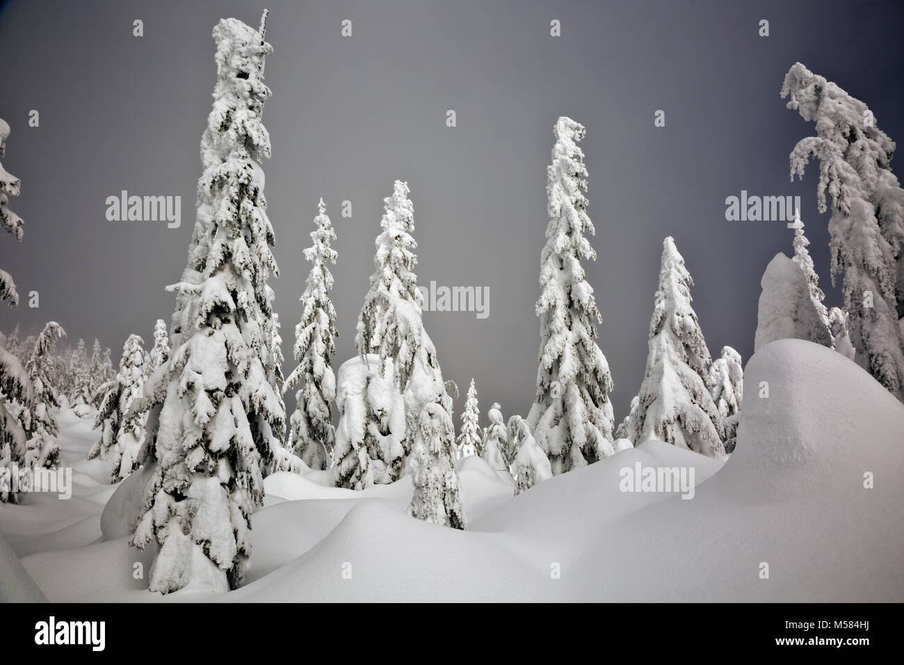 WASHINGTON - The sun on snow covered trees along the cross-country ski route on Amabilis Mountain in the Okanogan - Stock Image