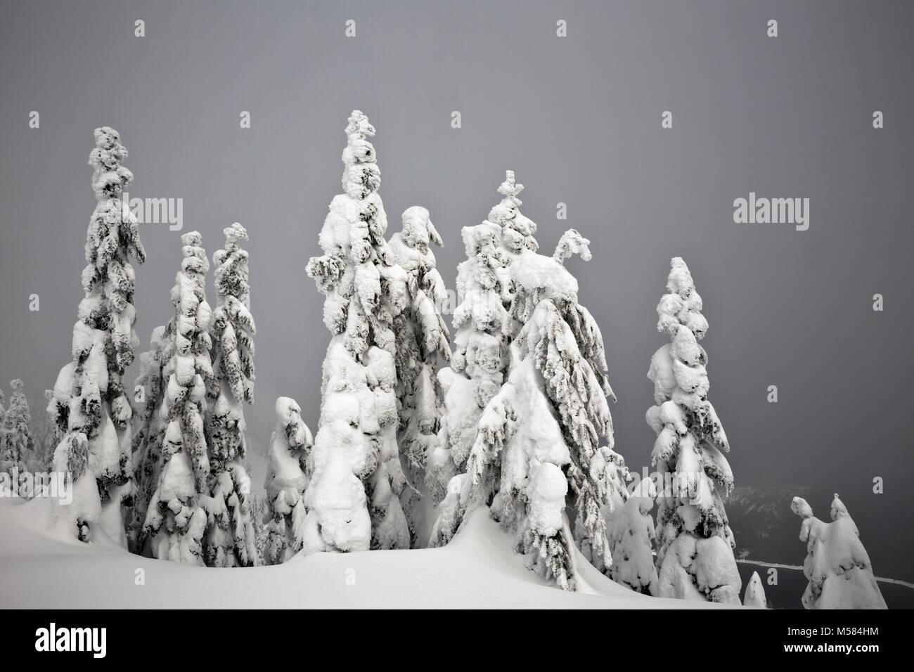 WA13525-00...WASHINGTON - Snow covered trees along the cross-country ski route on Amabilis Mountain in the Okanogan - Stock Image