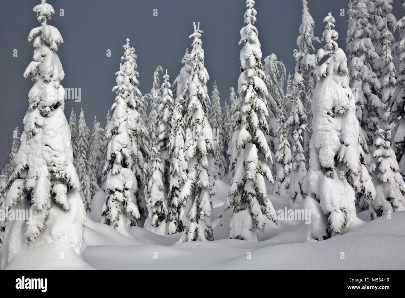 WA13529-00...WASHINGTON - Snow covered trees on Amabilis Mountain in the Okanogan-Wenatchee National Forest. - Stock Image