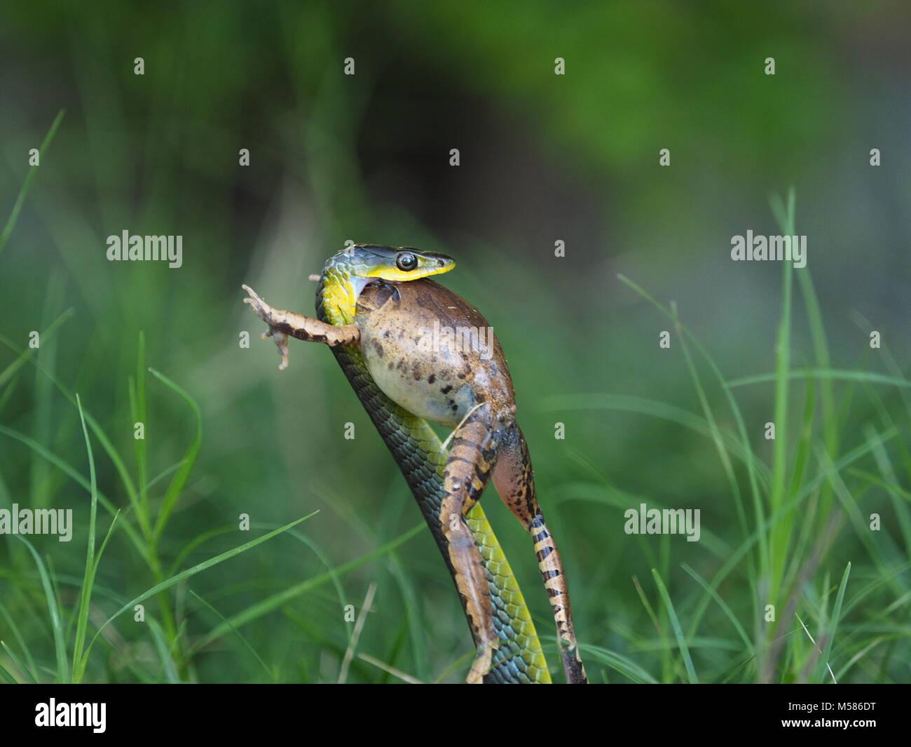 Tree snake eating frog - Stock Image