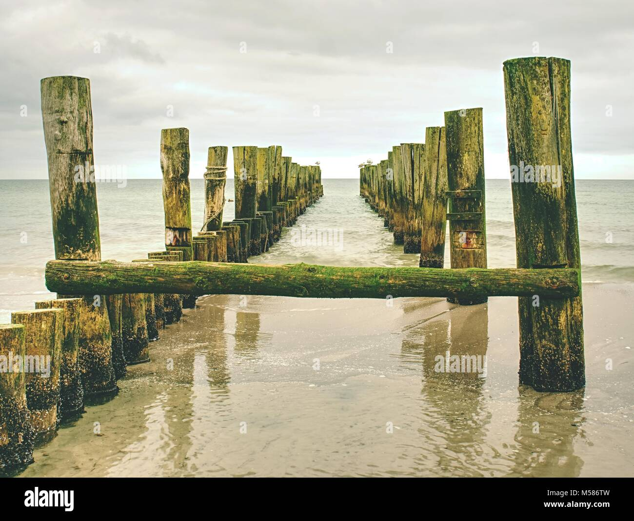 Mossy breakwater poles in smooth water of sea within windless. Sandy beach wit algae, stones and shells. - Stock Image